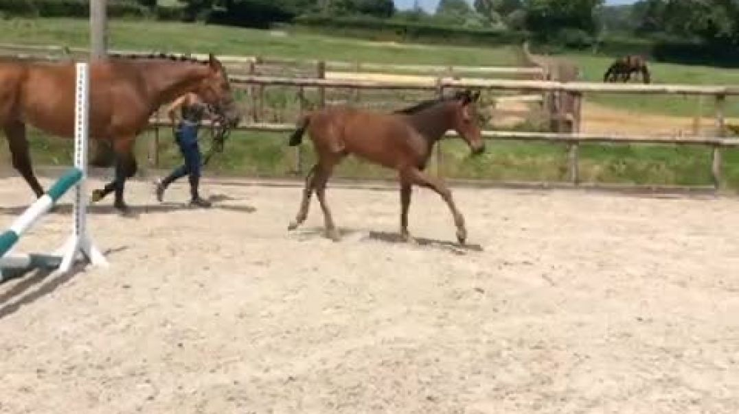 Padinus(heartbreaker)x ramiro(2005)mare with filly foal by Grandorado (2020)