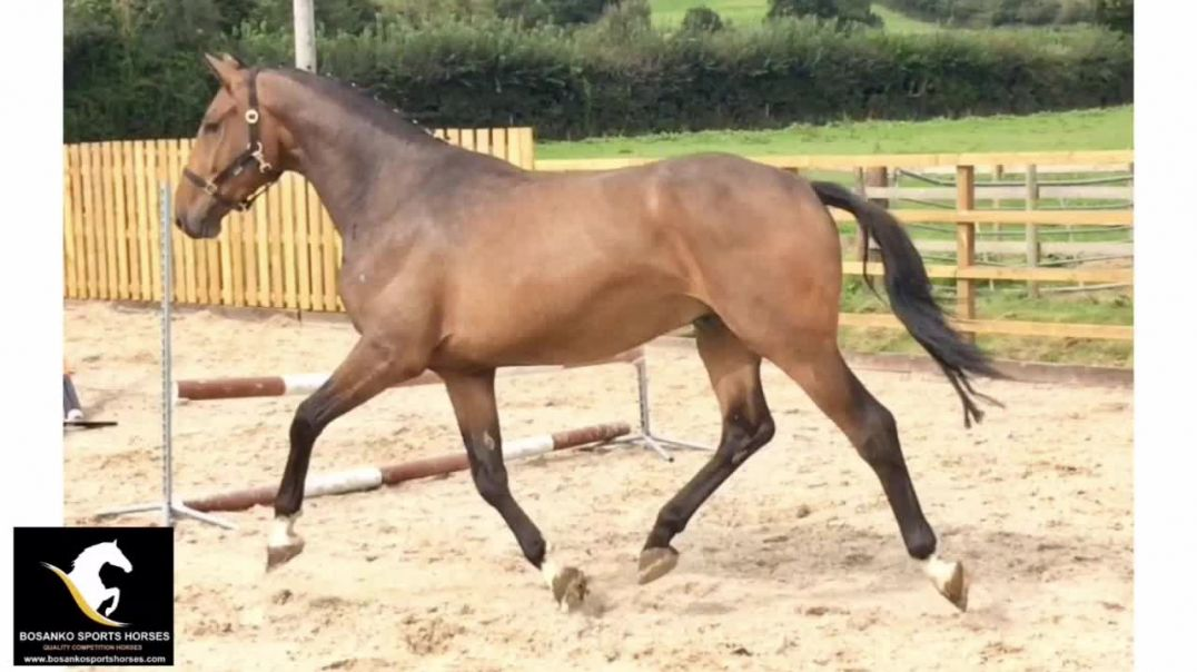 Chapeau (clearway)x I'm special de muse x indoctro (2017)gelding