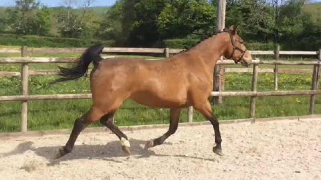 Rosier (uriel) x flipper d'elle (2007)mare in foal for 2021 to Eldorado Van de zeshoek