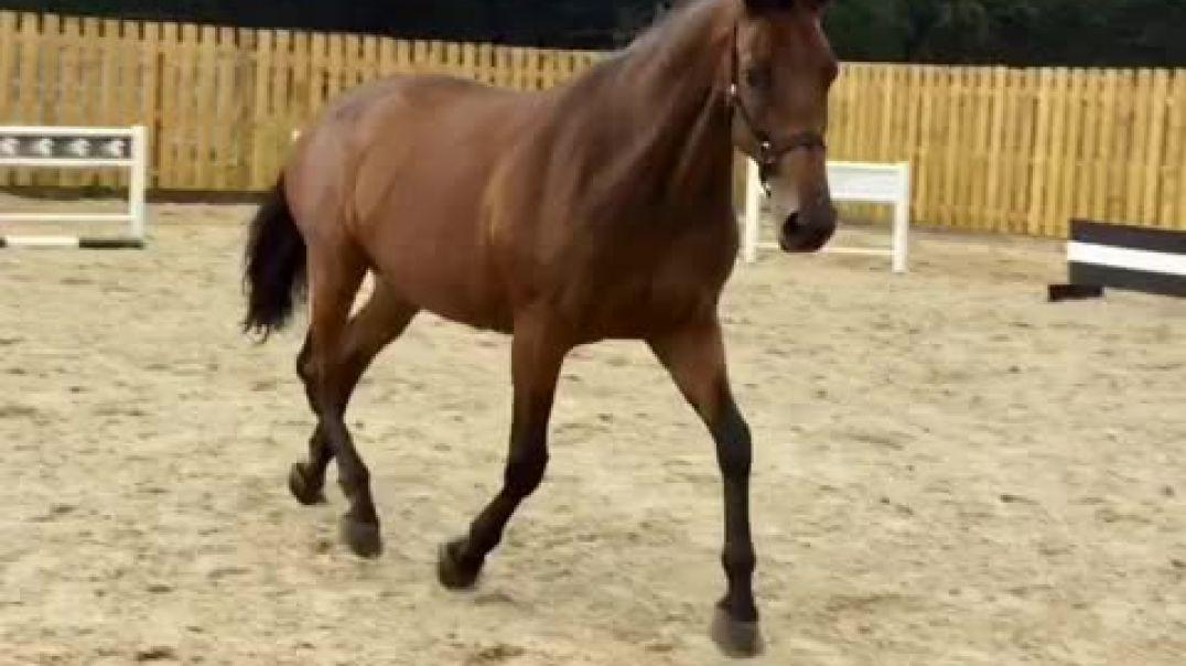 Canturano x Manhattan x mytens(2011)mare in foal for 2021 to opium jw Van de moerhouve(Kannan)