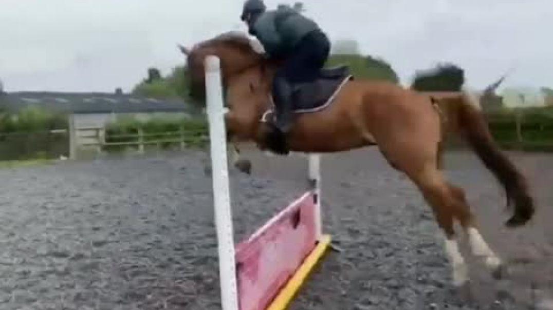 Elvaro(Calvaro x heartbreaker)x guidam x jasper(2016)mare, loose and first ridden jumps