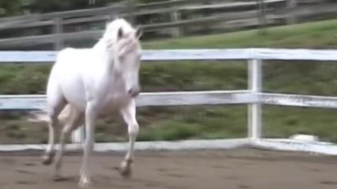 White Magic - Cremello Thoroughbred Stallion