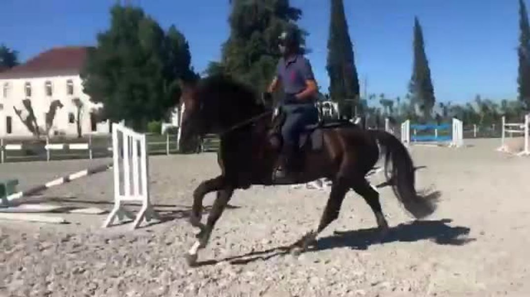Kannan x Iroko x belisar(2012)gelding, few jumps at home in Portugal