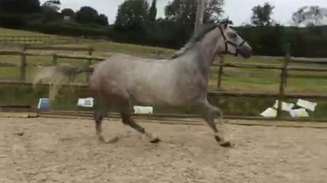 Casago (casall)x cantano x renville(2017)mare in foal for 2021 to opium jw Van de moerhoeuve(kannan)