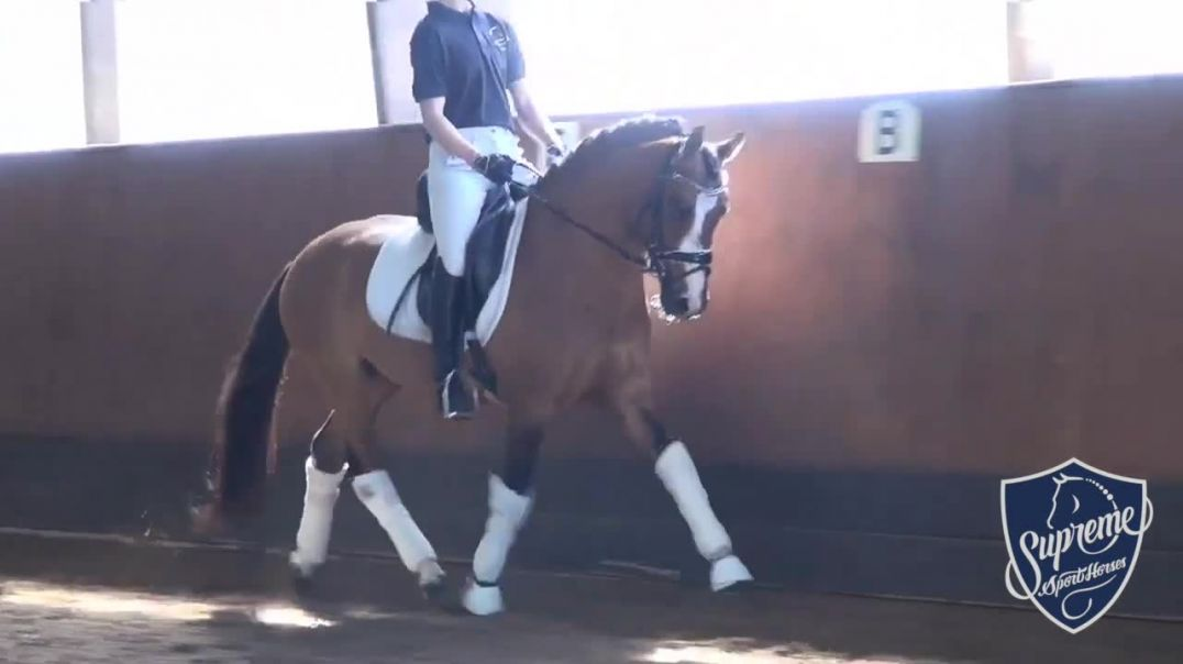 2017 Licensed Pony Stallion